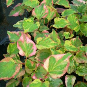 Houttuynia plantes iode ou poivrier de chine bio