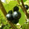 jardin fruitier bio cassis