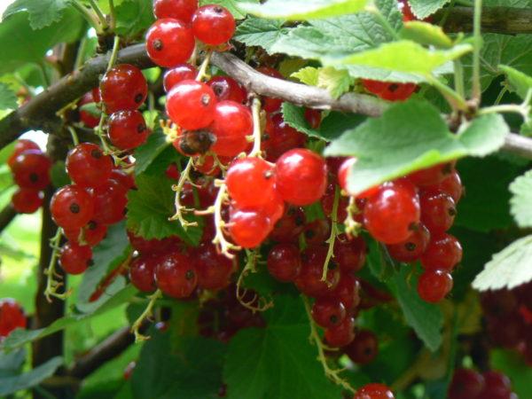 jardin bio groseillier rouge