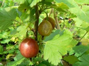 Fruitier bio groseille potager naturel