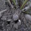 poire de terre bio