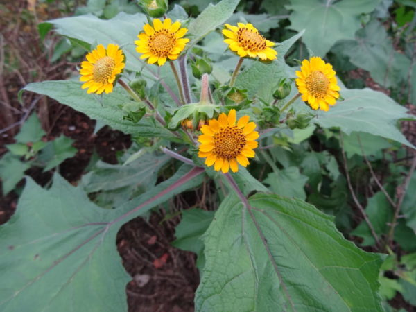 fleur de la poire de terre bio