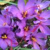 fleurs de safran du bio