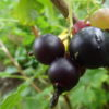 jardin bio potager fruit rouge