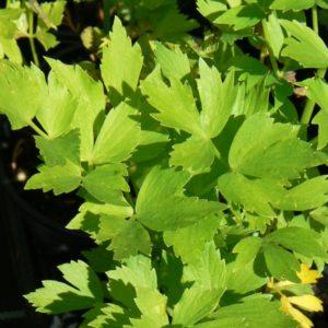 Livéche celerie vivace