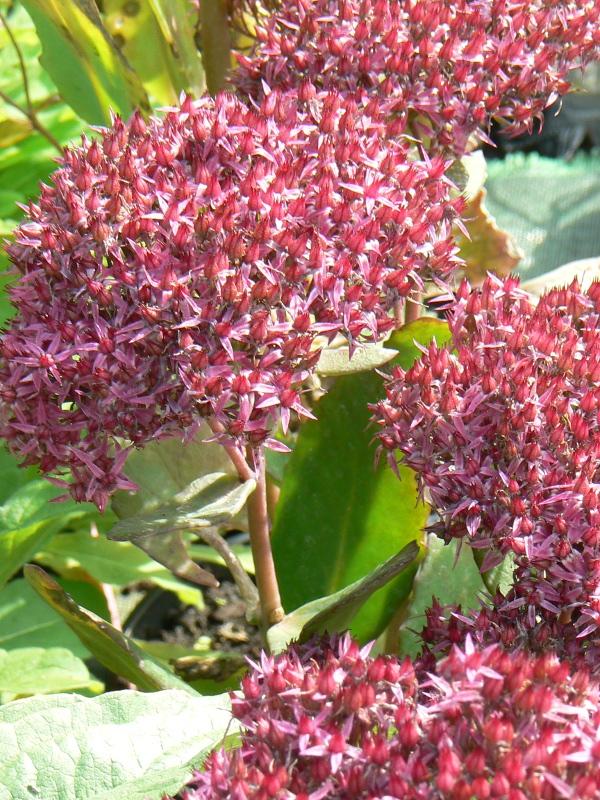 Vivaces Bio Floraison automnale d'octobre à décembre