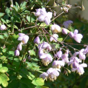 Vivaces Bio Floraison printanière d'Avril à Juin