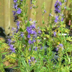 Plantes médiévales Bio