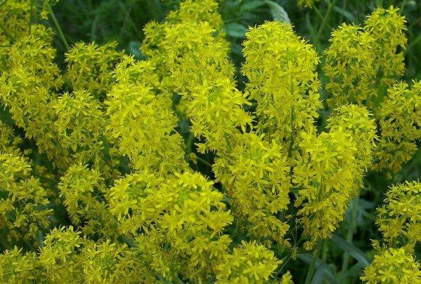 Plantes tinctoriales Bio