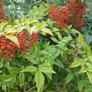 Arbustes Bio floraison ou fructification d'été de juillet à septembre