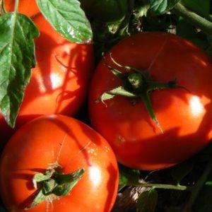 Tomates précoces Bio