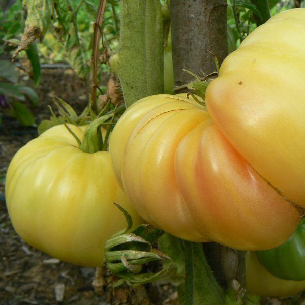 Tomates blanches Bio