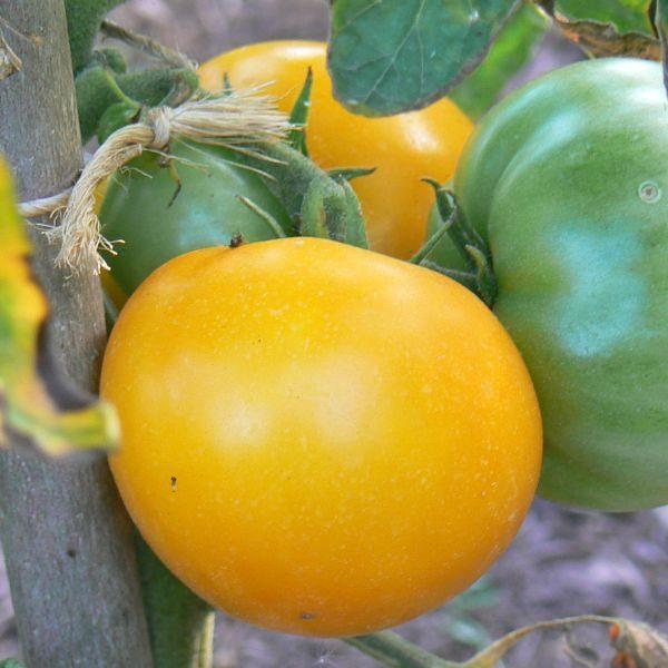 Tomate jaune golden jubilée