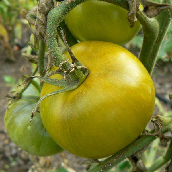 Tomates vertes Bio