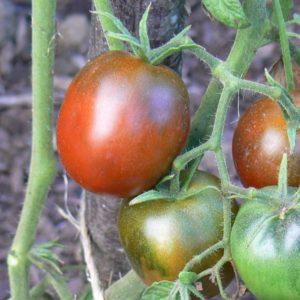 Tomates noires Bio