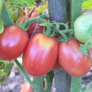 Tomates roses Bio