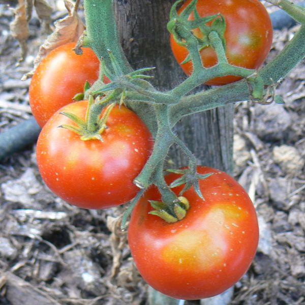 Tomates rouges moyennes Bio