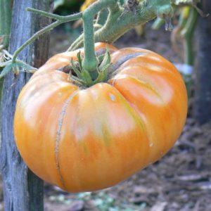 Tomates tardives Bio