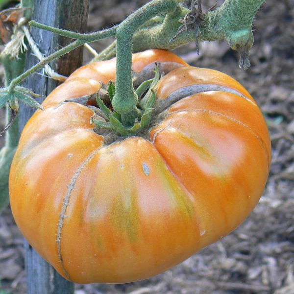Tomates oranges Bio