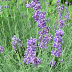 Plantes condimentaires et aromatiques Bio