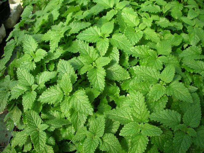 Plantes officinales Bio