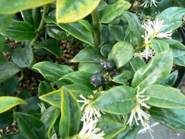 Arbustes d'ombre ou de mi-ombre Bio