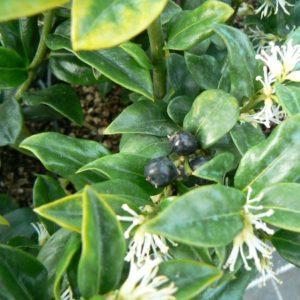 Arbustes Bio floraison ou fructification d'hiver de janvier à mars
