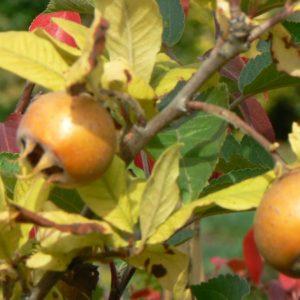 Fruitiers anciens Bio