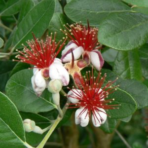 Fruitiers arbustifs Bio