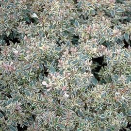 Abelia Confettii