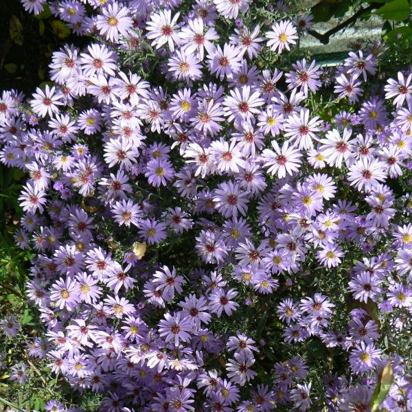 Aster Ideal
