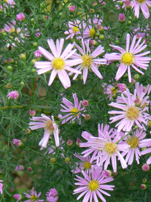 Aster Blue Star