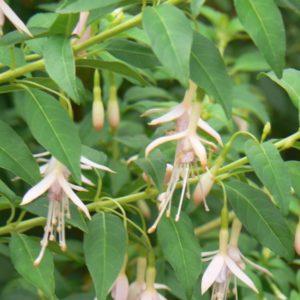 Fuchsia Magellanica Alba