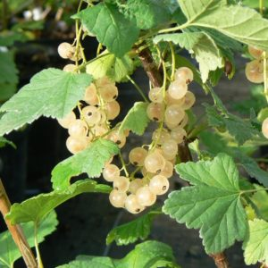 Groseillier Blanc - Cerise Blanche Bio