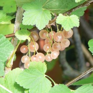 Groseillier Rose de Champagne Bio