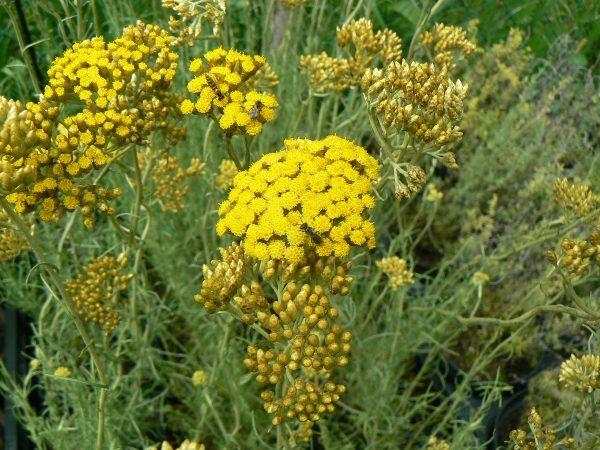 Hélichryse ou Plante à Curry Bio