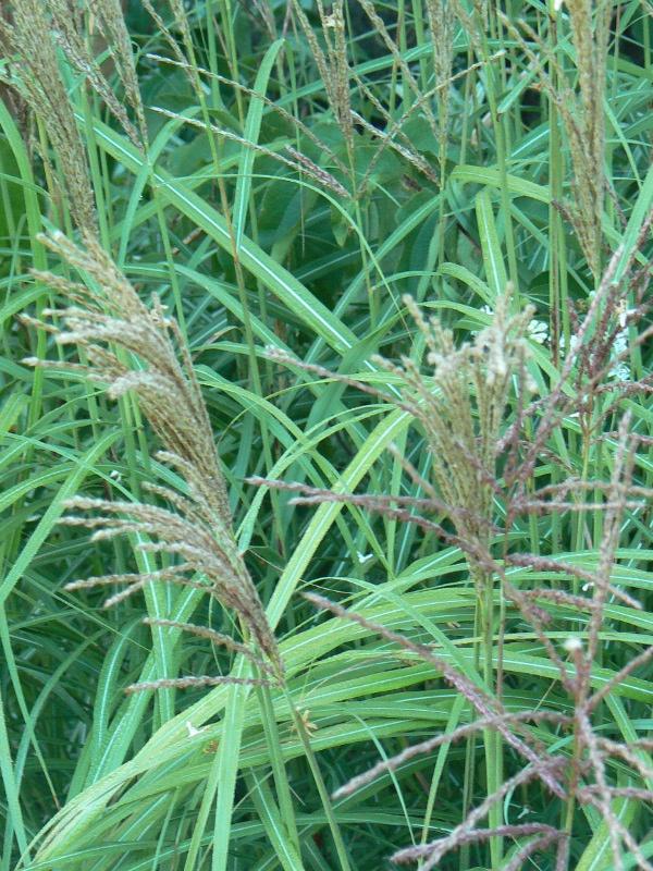 Miscanthus emmanuel lepage les jardins d 39 ollivier for Au jardin d emmanuel