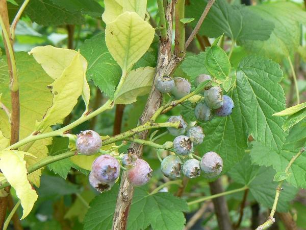 Myrtillier Arbustif Jersey Bio