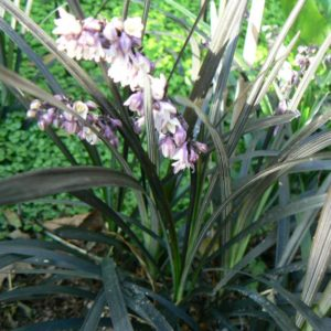 Ophiopogon Herbe Aux Turquoises