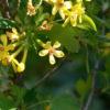 groseiller botanique bio