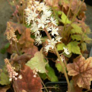 Tiarelle Cordifolia