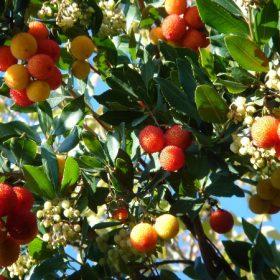 Arbre à fraise - Les Jardins d'Ollivier, pépinière bio