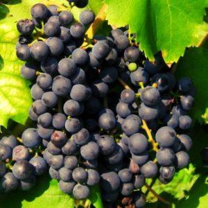 raisin bio baco noir