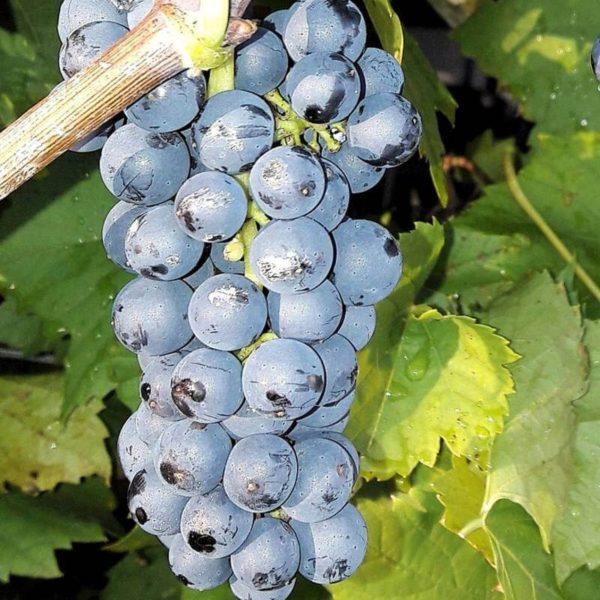 raisin franboise clinton noir bio