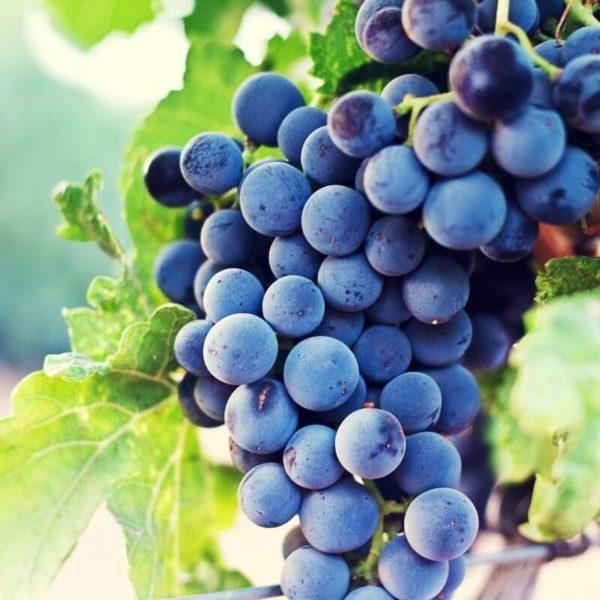 raisin concorde noir bio