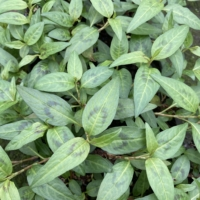 Coriandre vietnamienne bio- Rau-Ram
