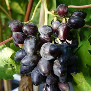 raisin noir bio damaris