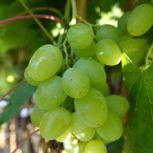 raisin blanc de tableau bio