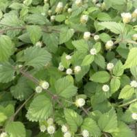 Verveine douce des Aztèques Bio- Lippia dulcis
