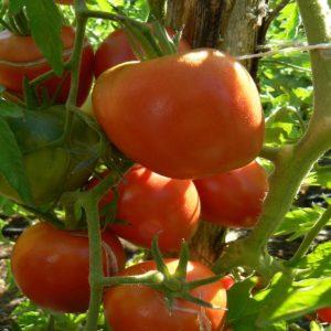 tomate olirose de st domine